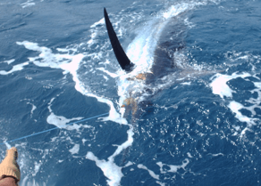 A big blue marlin coming to the Four Reel Transom.
