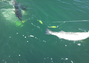 Four Reel anglers enjoy catching giant bluefin tuna in the spring time.